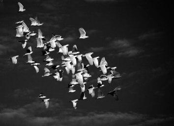 Corellas in Flight