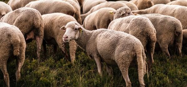 Sheep turning away from flock