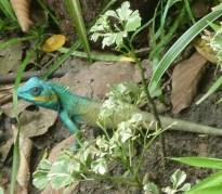 HCMC_Lizard3