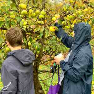 Picking Golden Delicious apples in the orchard