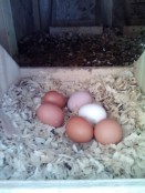 Thank you for the eggs, girls!