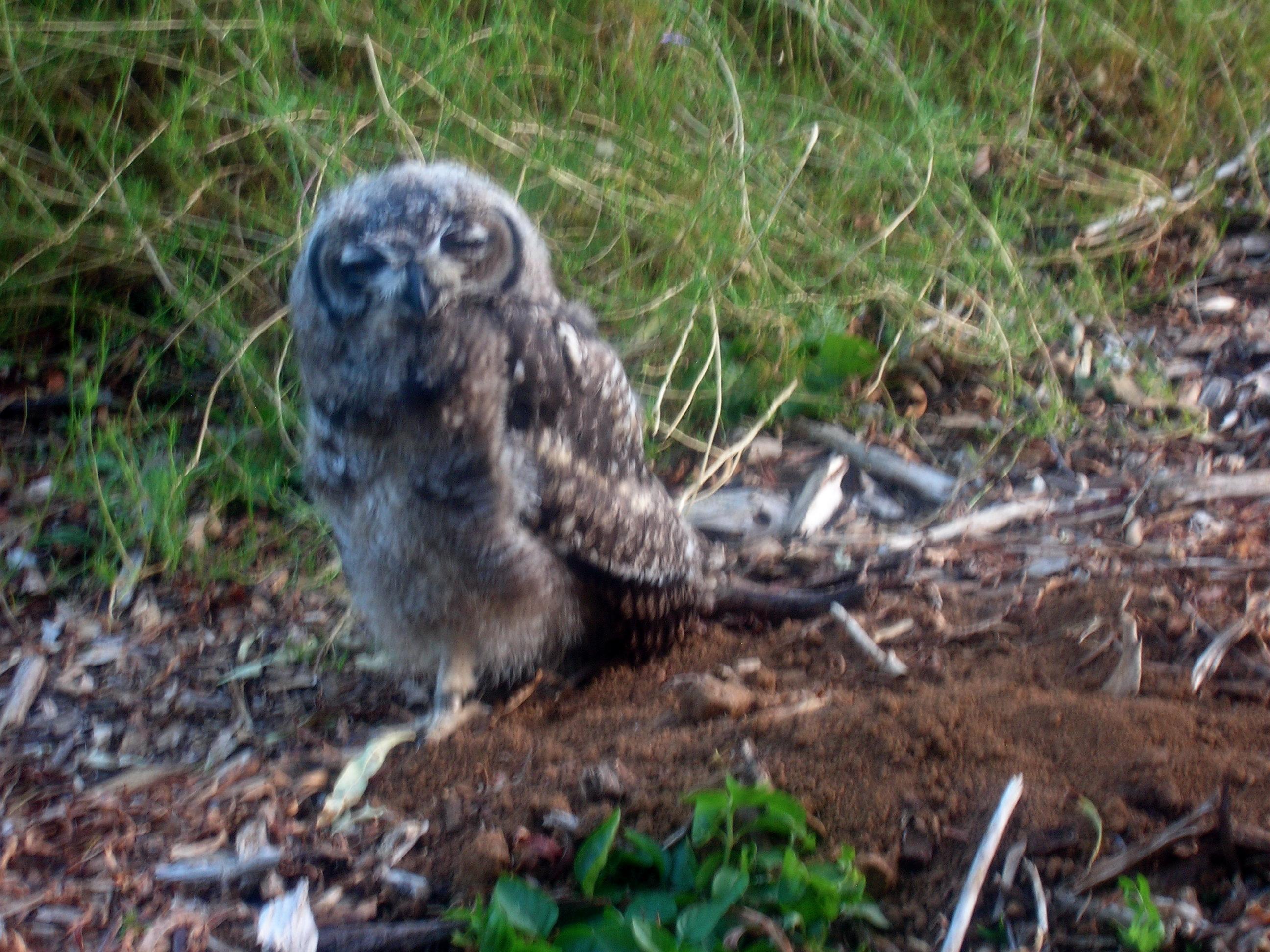 Owl Resting in Kirstenbosch National Botanical Garden