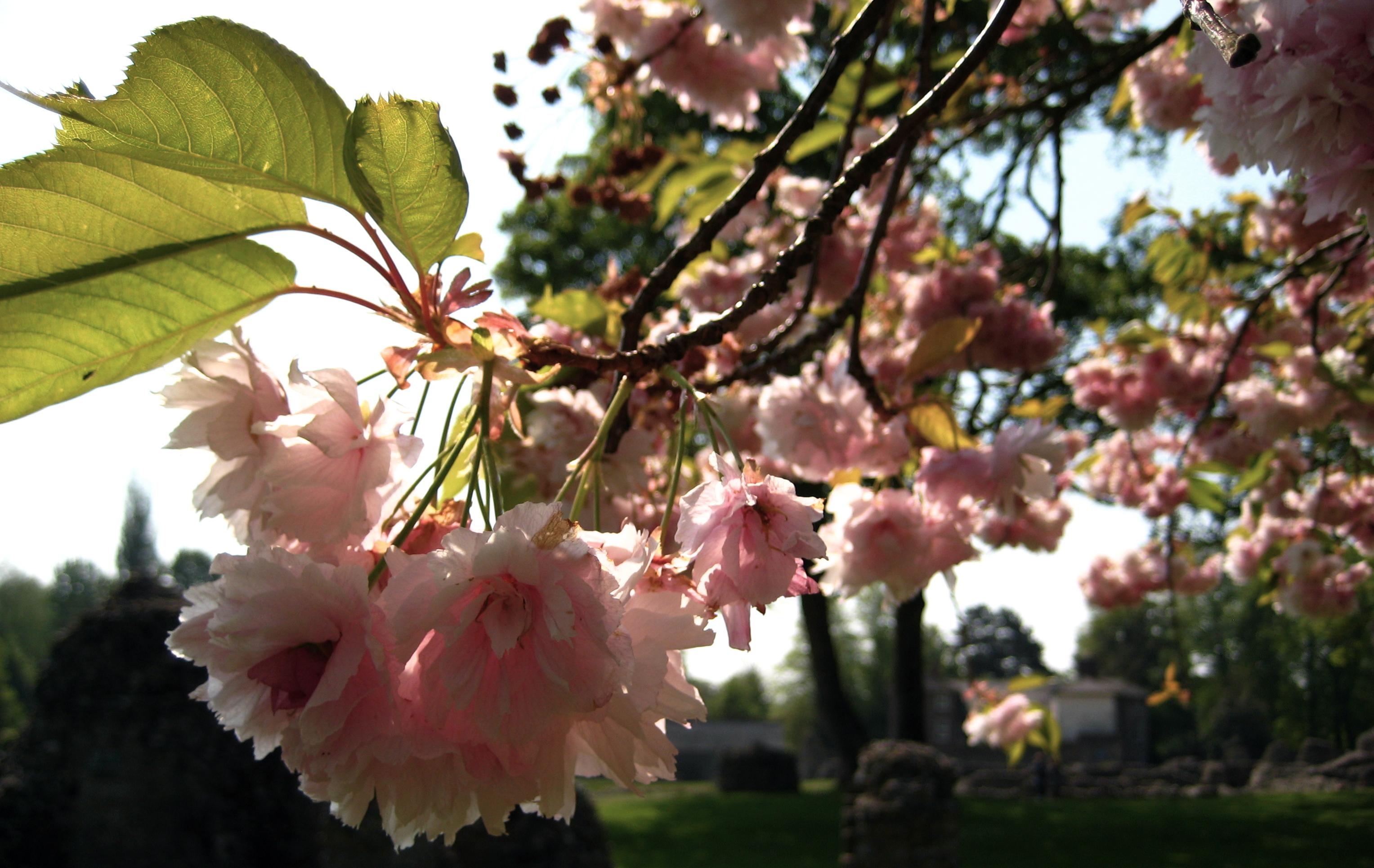 Blossoms in Bury St. Edmonds