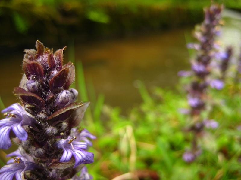 Flower by Peak District stream