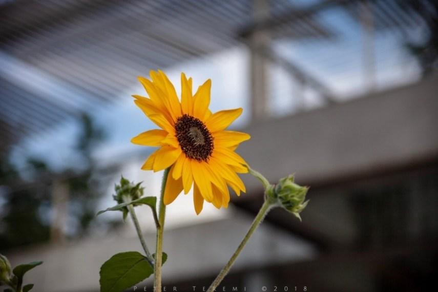 Sunflowers - Always Fashionable
