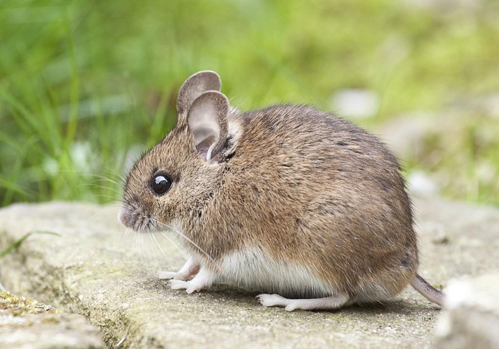 Rodent Treatment