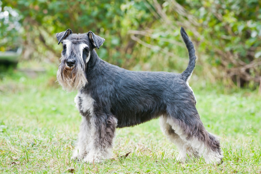 Best Dog Foods for Miniature Schnauzers - LIFE WITH DOGS