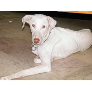 First Tamil Louis Indian Pariah Dog Louis Indian Pariah Dog