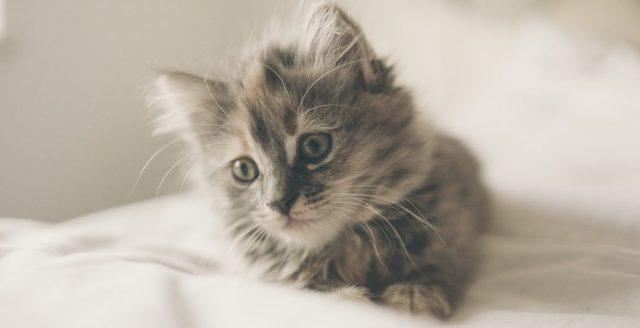mačka-siva