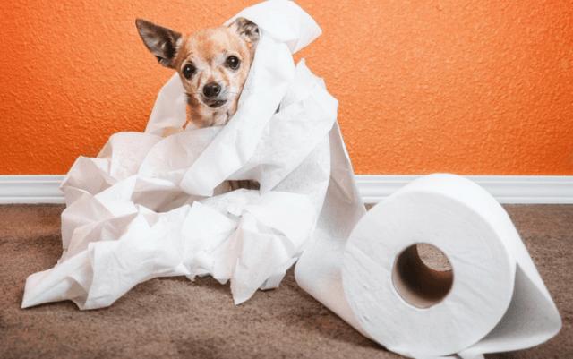 pas-i-toalet-papir-obavlja-nuždu