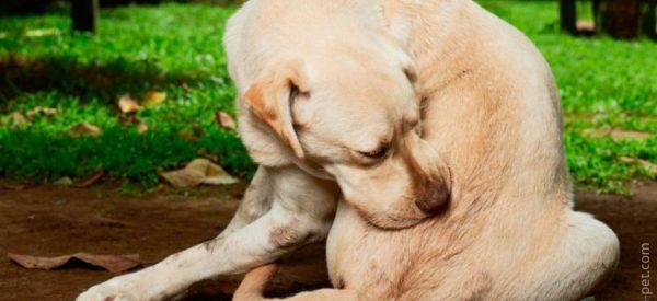 Лишай у собак: виды, признаки, лечение собаки, фото и ...