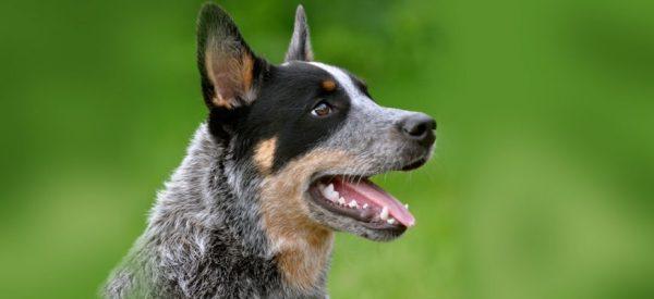 Австралийская пастушья собака (хилер): описание, цена и ...