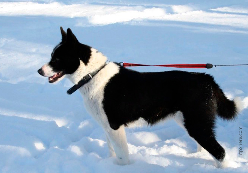 Karelian Bear Dog.