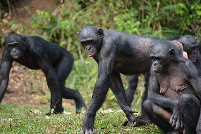 ボノボの知能はどれくらい?チンパンジーとの違いも!