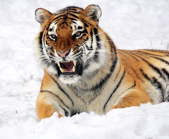 ネコ?猛獣?虎(トラ)ってどんな動物なの?