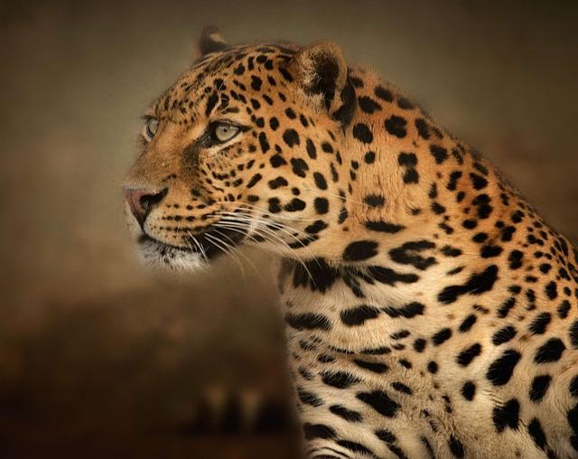 ヒョウ(豹)とジャガーの違いは何!?見分けるポイントを解説!