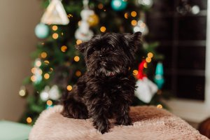 Things you should know before getting a Shorkie