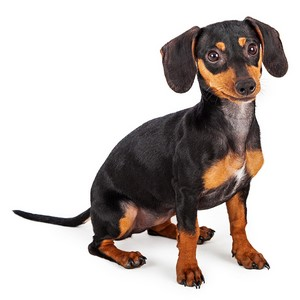 Is A Dachshund Good Apartment Dog