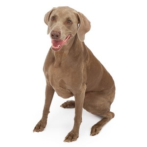 Are Weimaraners Good For Apartment Units
