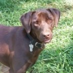 chocolate lab pet insurance