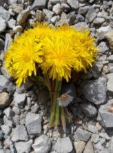 Bonheur: bouquet de pissenlits