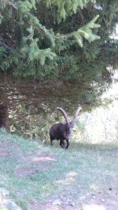 Chamonix, parc de Merlet, bouquetin
