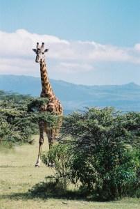 Voyage, girafe