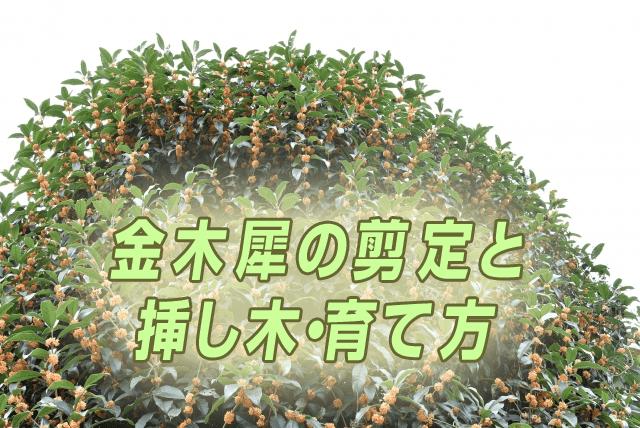 kinmokusei_sentei