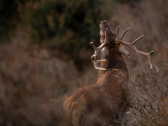 Voir des animaux sauvages pendant le brame du cerf