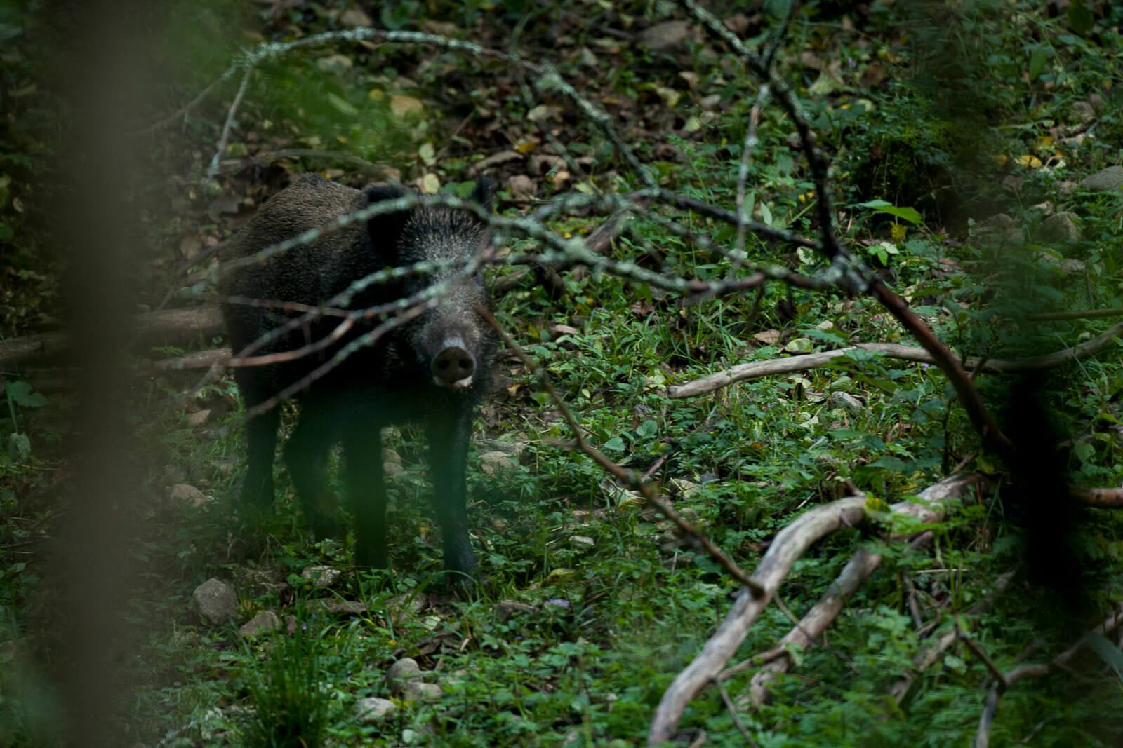 Voir des animaux sauvages dans la forêt, le sanglier