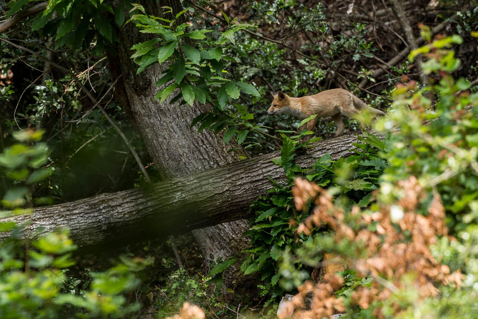 Voir des animaux sauvages dans la forêt, le renard
