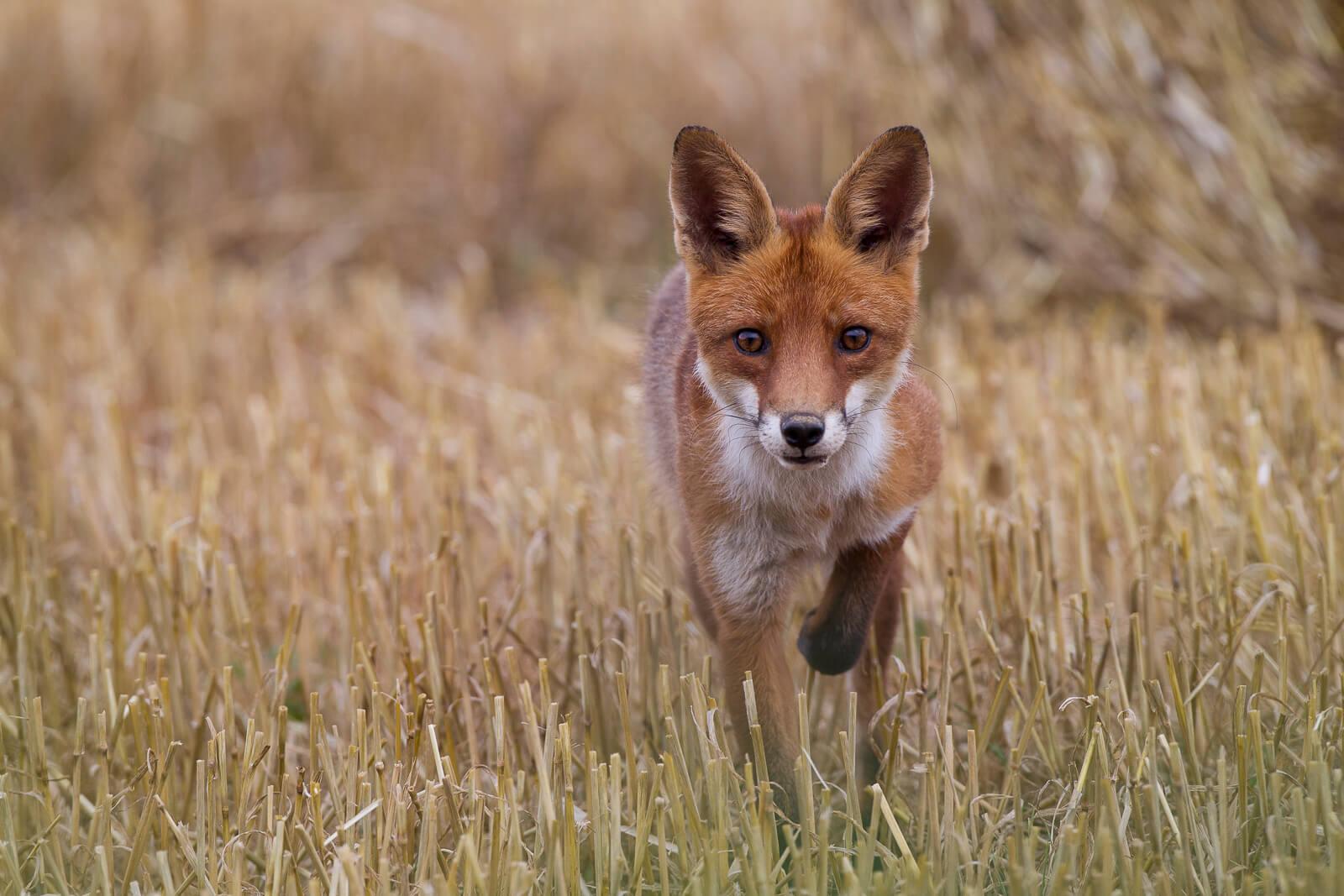 rVoir des animaux sauvages en France - enard roux