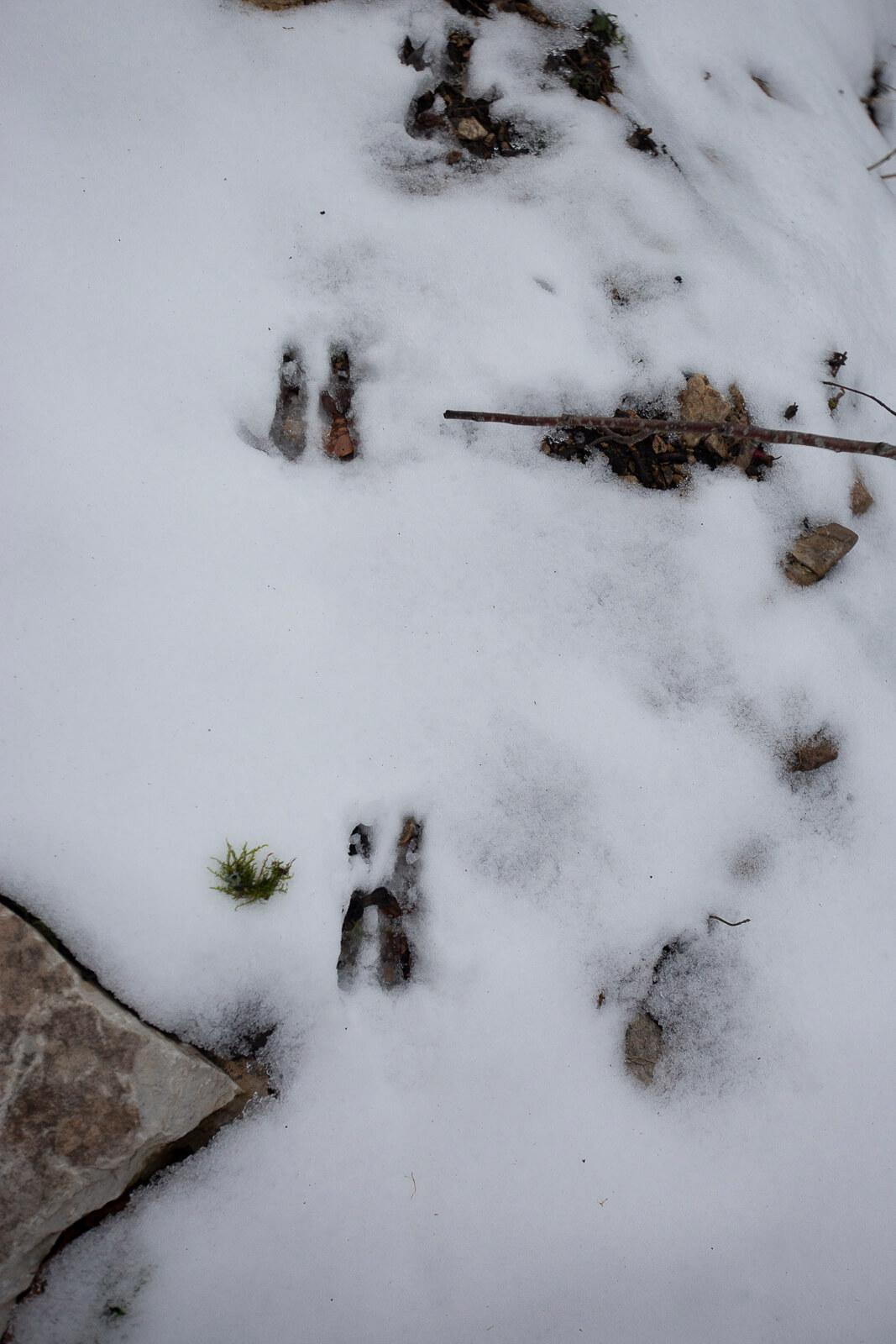 Traces de chamois dans la neige