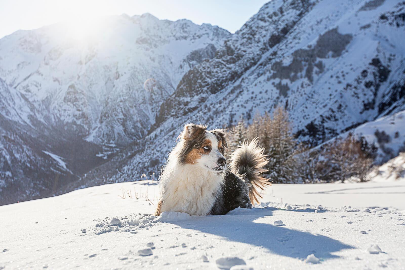 chien dans la poudreuse et soleil hiver aux 2 Alpes