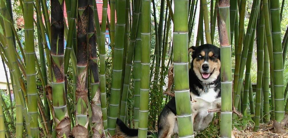 bambou pousse rapide pour haie