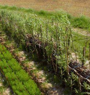 prix des bambous a planter