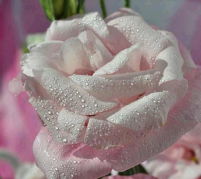 ROSES BLANCHE