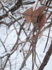 Oak leaf, branches
