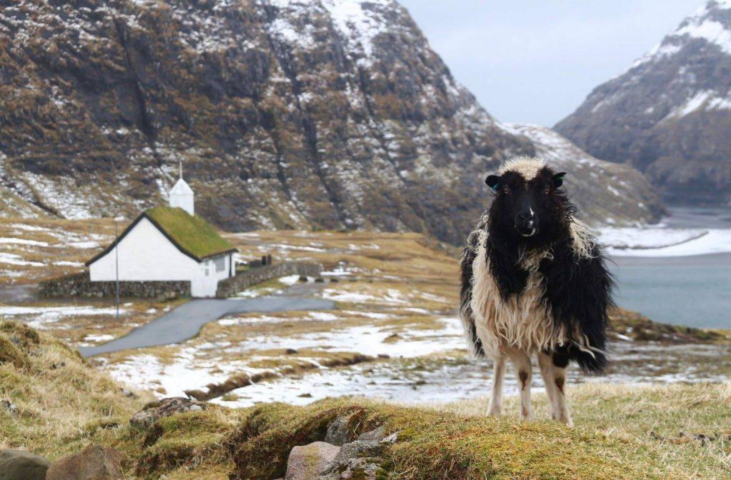 île féroé mouton noir et blacn devant montagne