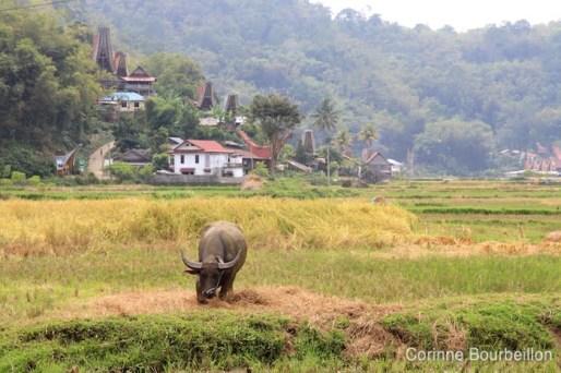 Tana Toraja, Sulawesi, Indonésie. Juillet 2010.