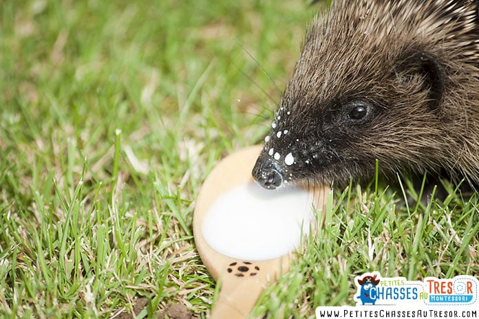 danger du lait pour les hérissons