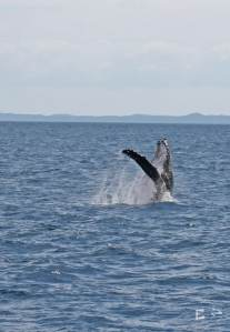 Petits Globetrotteurs - A la rencontre des baleines à Harvey Bay