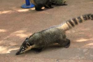 Les coatis s'approchent de nous très près, attention au pique-nique !