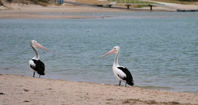 Nourrir les pélicans à Kalbarri en Australie
