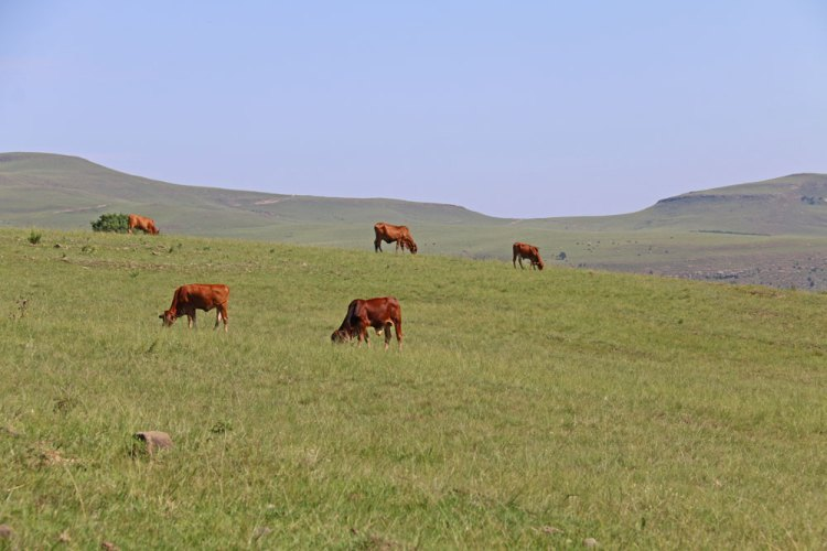 vaches sud africaines