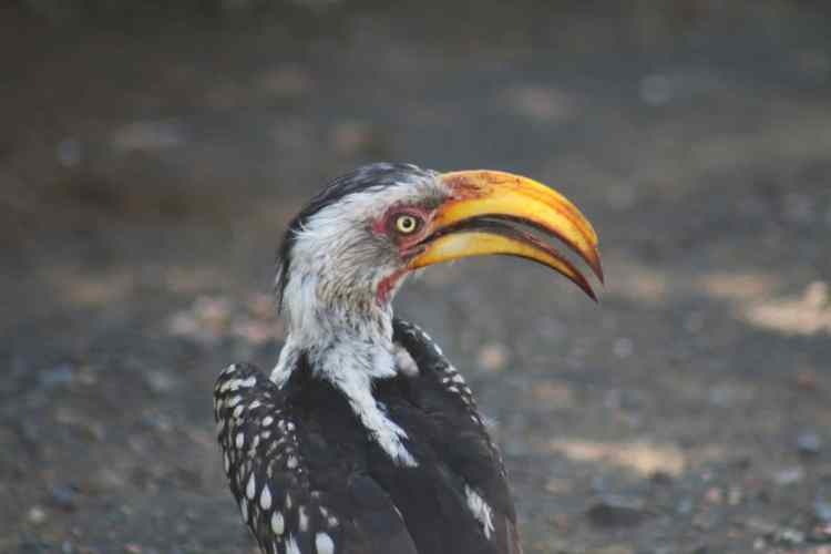 hornbill kruger parc afrique du sud