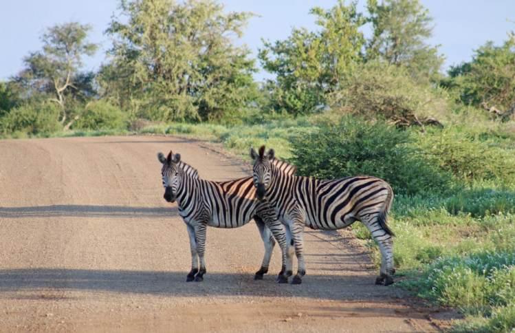 zèbre safari parc kruger