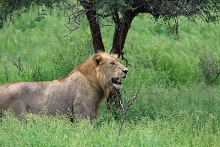 lion safari parc kruger
