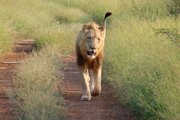 lion au Hlane park swaziland