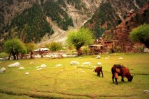 Chèvres de l'Himalaya, photo de manalahmadkhan (CC BY-2.0)